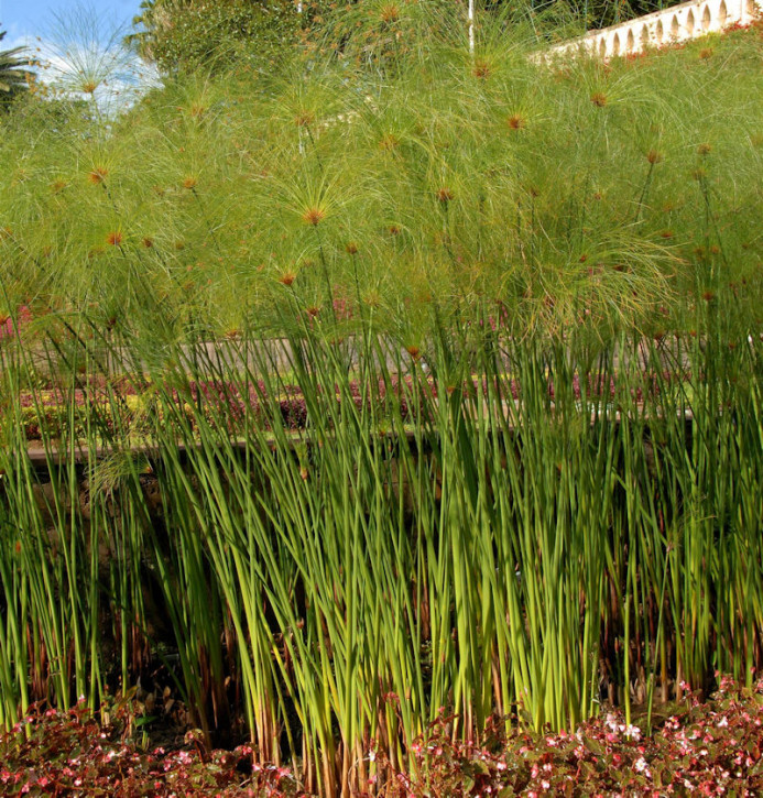 Echten Papyrus Gras - XXXL Topf - Cyperus papyrus
