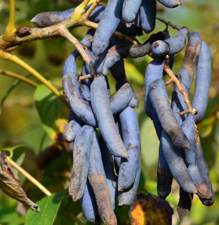 Blaugurkenbaum 100-125cm - Decaisnea fargesii