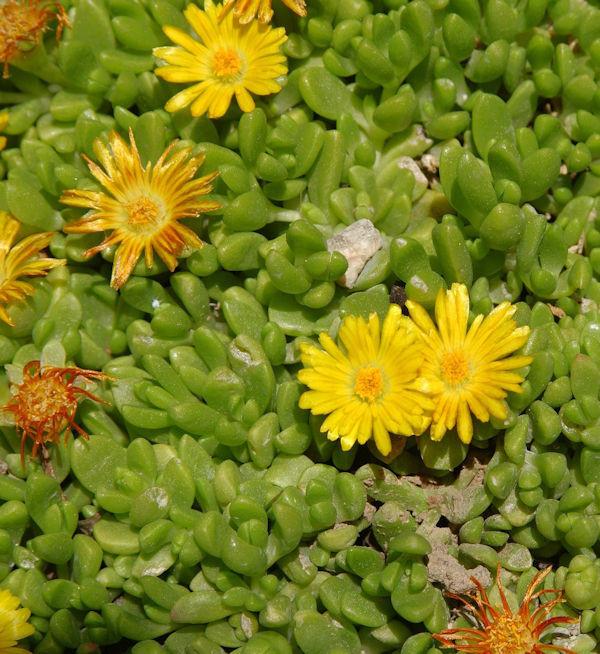 Gelbes Mittagsblümchen - Delosperma nubigenum