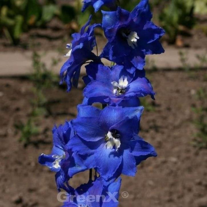 Rittersporn Balaton - Delphinium belladonna