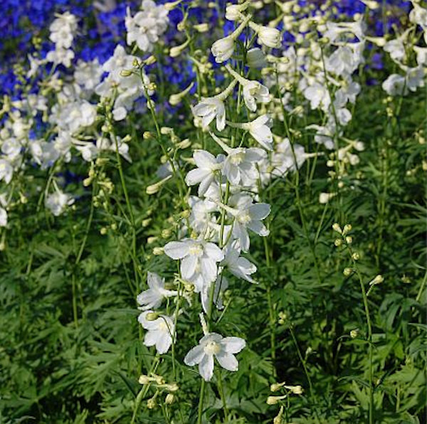 Rittersporn Casa Blanca - Delphinium belladonna