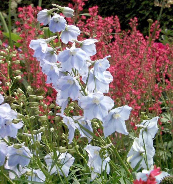 Rittersporn Ballkleid - Delphinium belladonna