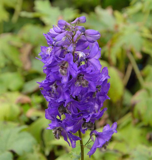 Garten Rittersporn dunkelblau - großer Topf - Delphinium magic