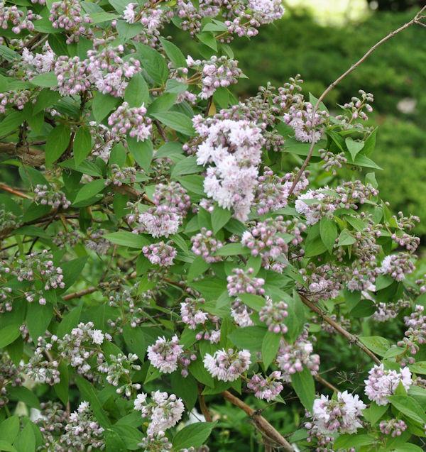 Maiblumenstrauch Raspberry Sundae® 60-80cm - Deutzia