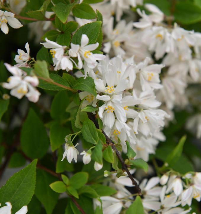 Kleine Deutzie Maiblumenstrauch Yuki Cherry Blossom 30-40cm - Deutzia scabra