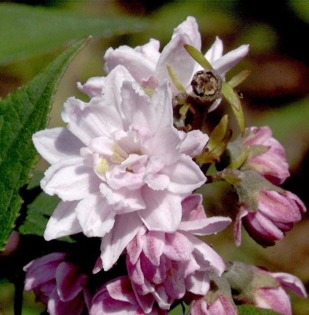 Rosendeutzie Pink Pom Pom 60-80cm - Deutzia hybrida