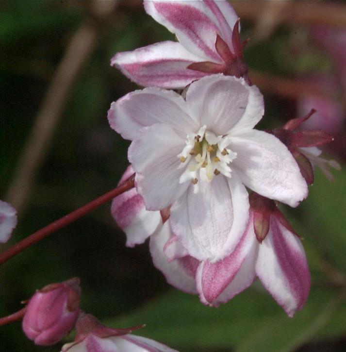 Halbhoher Sternstrauch Kamiendeutzie 100-125cm - Deutzia kalmiiflora