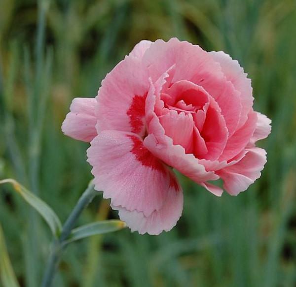 Federnelke Doris - Dianthus plumarius