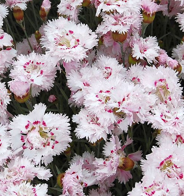 Federnelke Ine - Dianthus plumarius