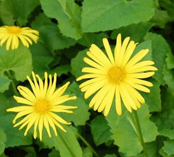 Gemswurz Magnificum - Doronicum orientale