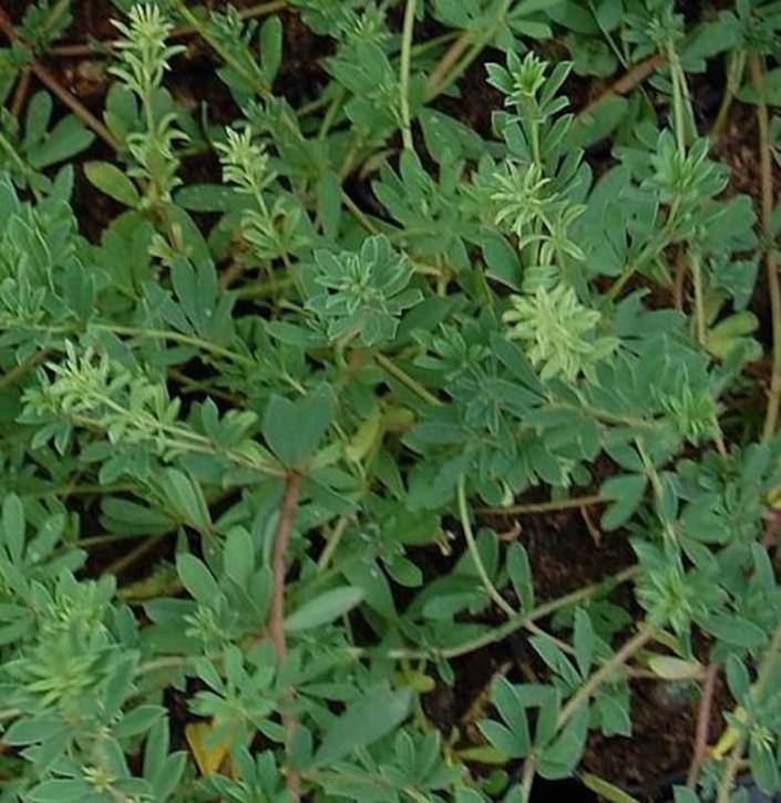 Backenklee - Dorycnium pentaphyllum germanicum