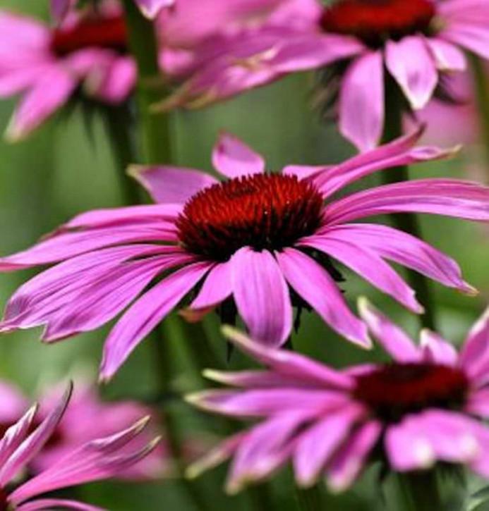 Sonnenhut Little Magnus - Echinacea cultorum