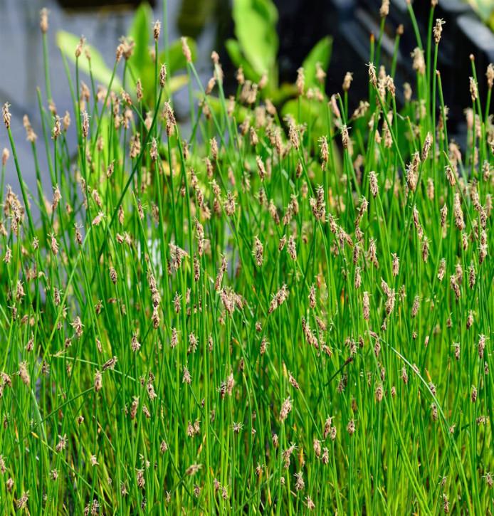 Gewöhnliche Sumpfbinse - Eleocharis palustris