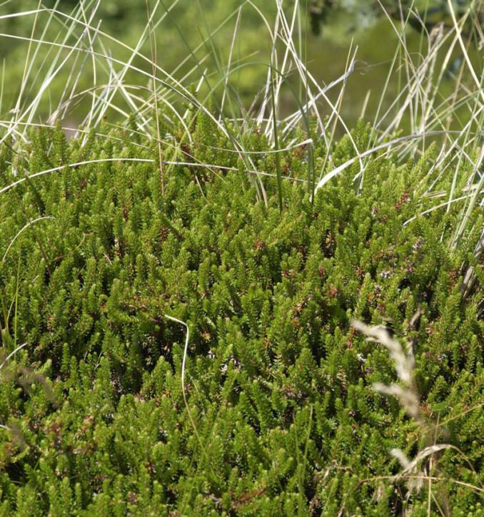10x Schwarze Krähenbeere - Empetrum nigrum