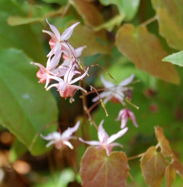 Elfenblume Pink Elf - Epimedium cultorum