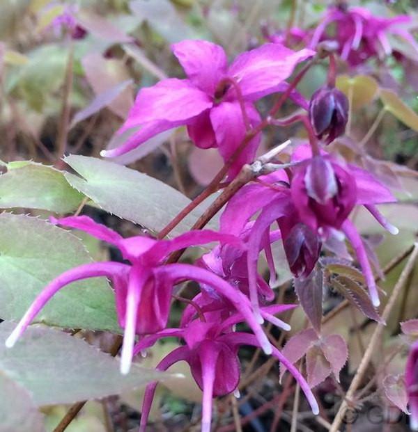 Elfenblume Red Beauty - Epimedium grandiflorum