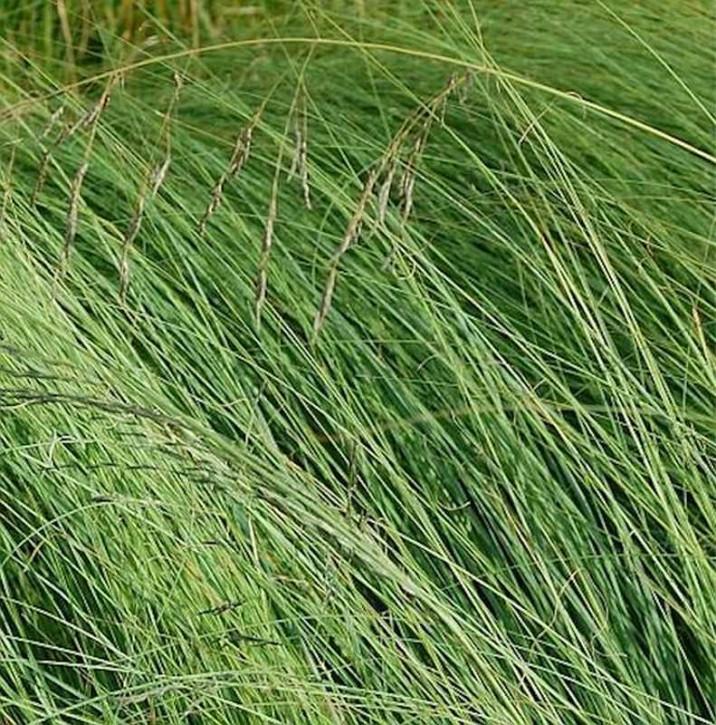 Blaues Liebesgras Wind Dancer - Eragrostis elliottii