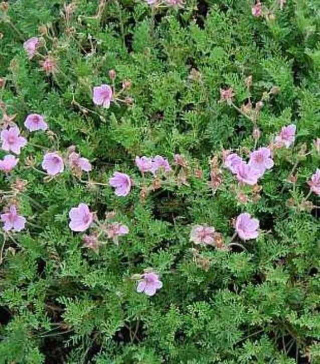 Reiherschnabel Country Park - Erodium variabile