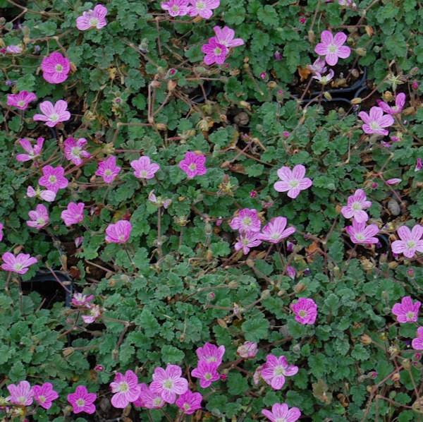 Reiherschnabel Roseum - Erodium reichardii