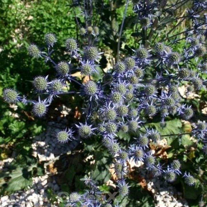 Blaue Edeldistel Blaukappe - Eryngium planum
