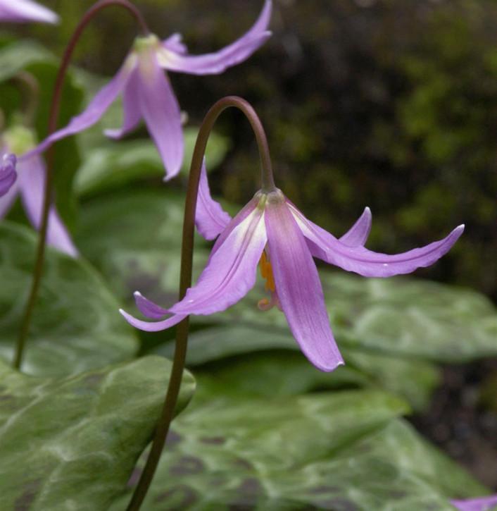 Hundszahn Lilie Purple King - Erythronium dens-canis