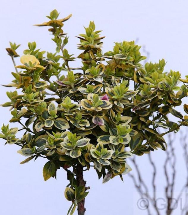 Hochstamm Goldbunte Kriechspindel 60-80cm - Euonymus fortunei