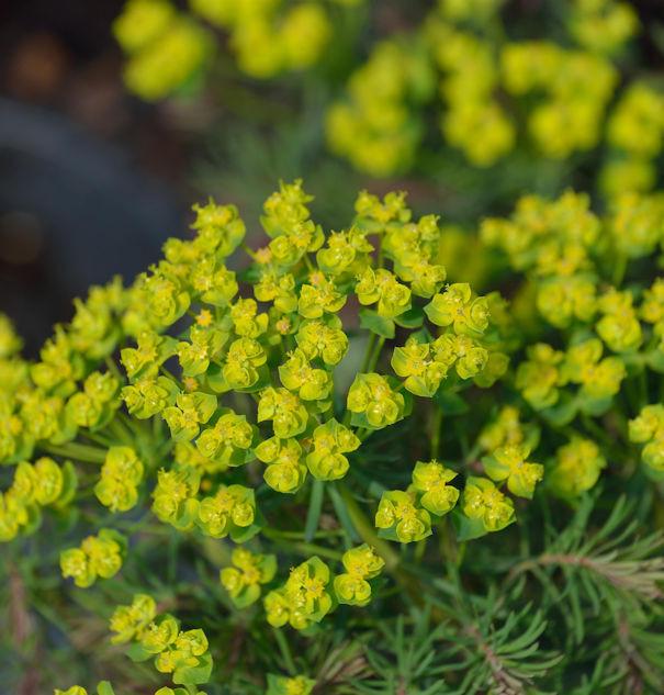 Palisaden Wolfsmilch Fens Ruby - Euphorbia characias