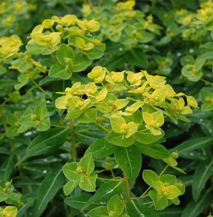 Hohe Wolfsmilch Goldener Turm - Euphorbia cornigera