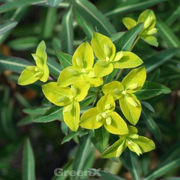 Hohe Wolfsmilch - Euphorbia cornigera