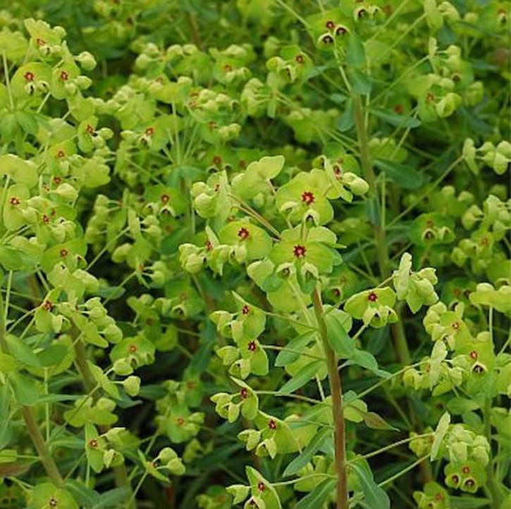 Busch Wolfsmilch - Euphorbia martinii