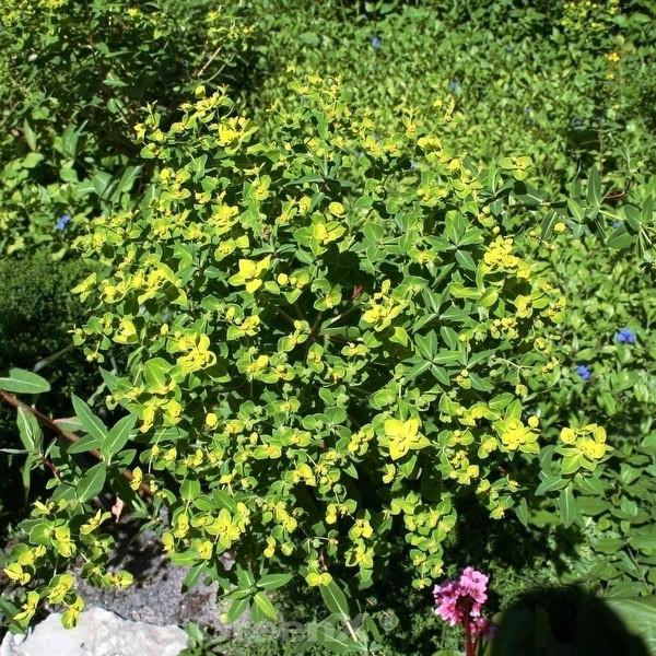 Wolfsmilch - Euphorbia schillingii