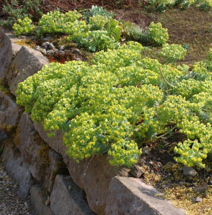 Walzen Wolfsmilch - Euphorbia myrsinites