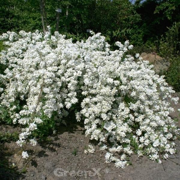 Kleine Prunkspiere Spring Time 60-80cm - Exochorda macrantha