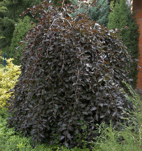 Hochstamm Schwarzrote Hängebuche 100-125cm - Fagus sylvatica
