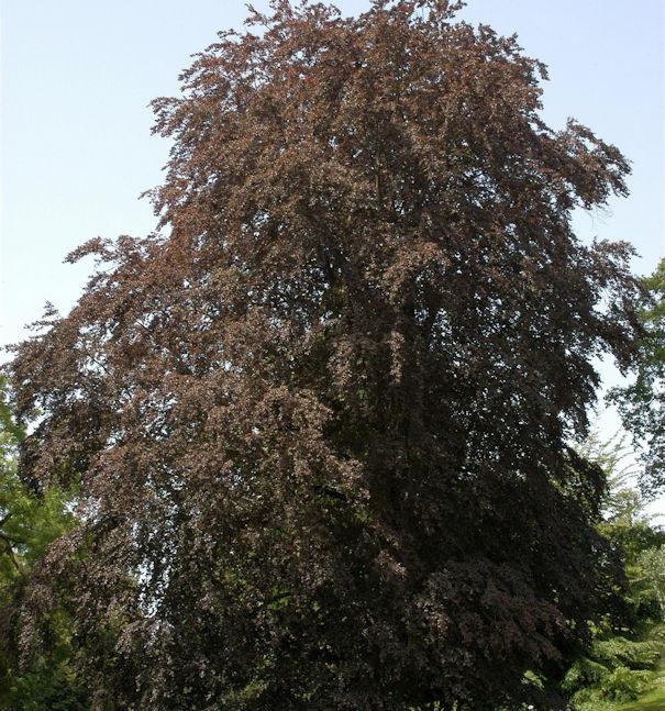 Blutbuche 80-100cm - Fagus sylvatica