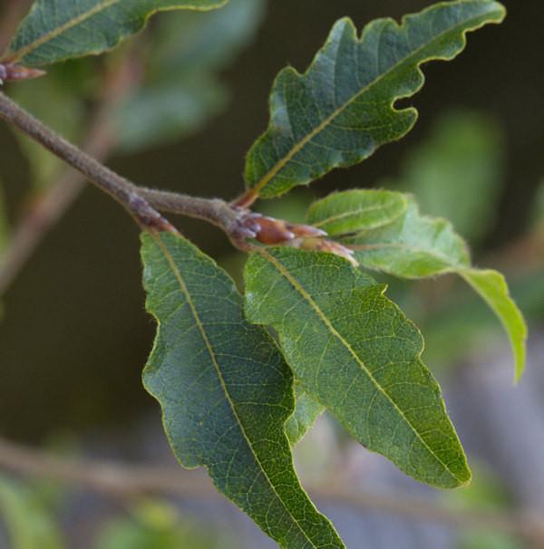 Kleine farnblättrige Buche Sandrode 30-40cm - Fagus sylvatica