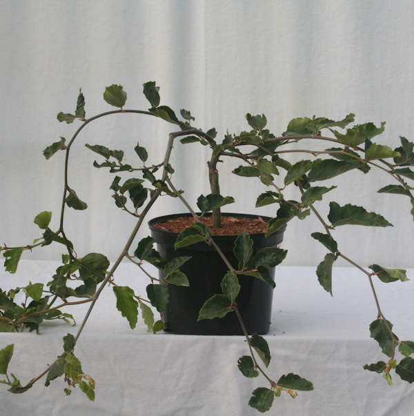 Süntelbuche Gespensterbuche 40-60cm - Fagus sylvatica