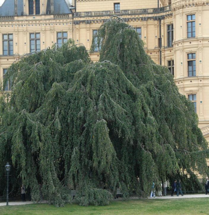 Trauer Hängebuche 40-60cm - Fagus sylvatica Pendula