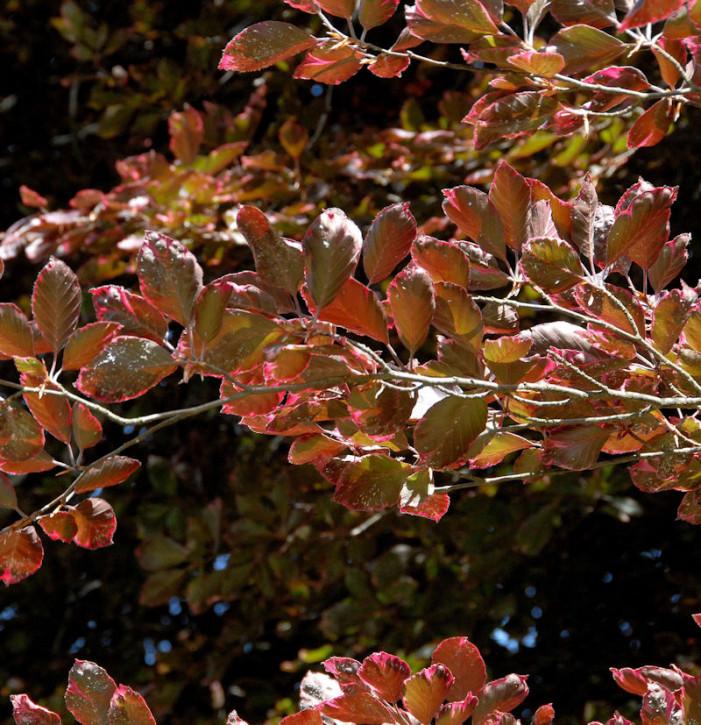 Rosa-dunkelrote Buche Roseomarginata 40-60cm - Fagus sylvatica