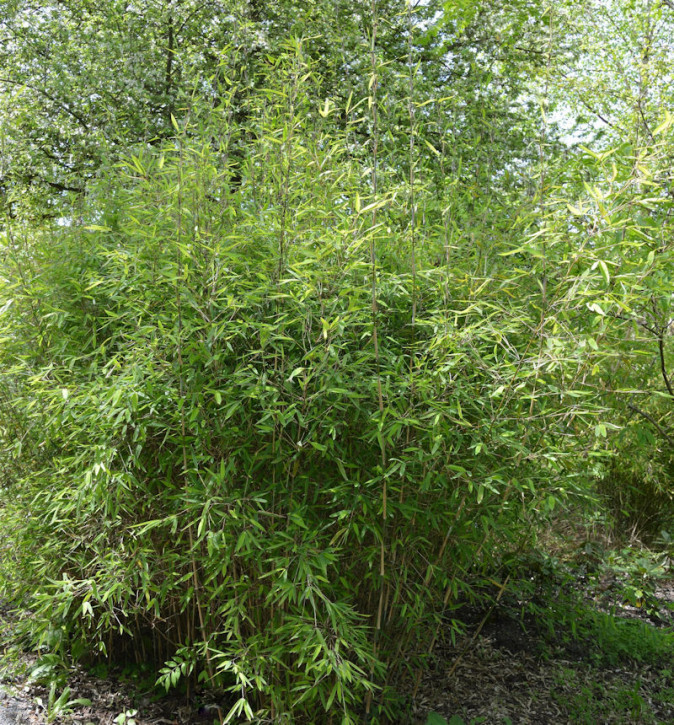Gartenbambus Chinese Walls 100-125cm - Fargesia murielae