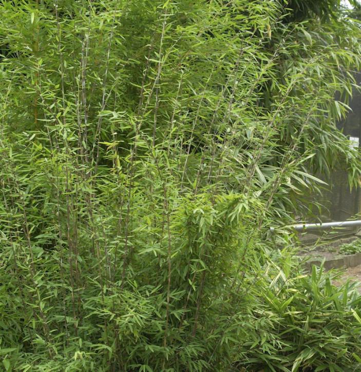 Schirmbambus Panda 30-40cm - Fargesia murielae