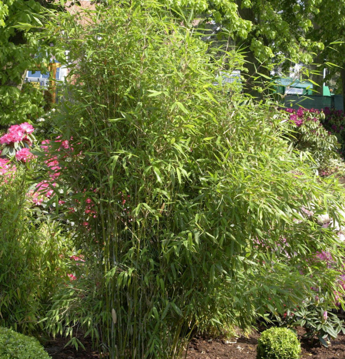 Roter Bambus Jiuzhaigou Deep Purple® 125-150cm - Fargesia speciosa