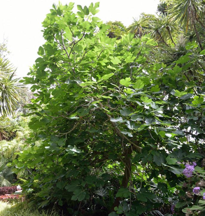 Feigenbaum Francuesco 30-40cm - Ficus carica