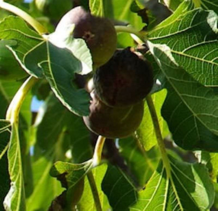 Feigenbaum Firoma® 30-40cm - Ficus carica