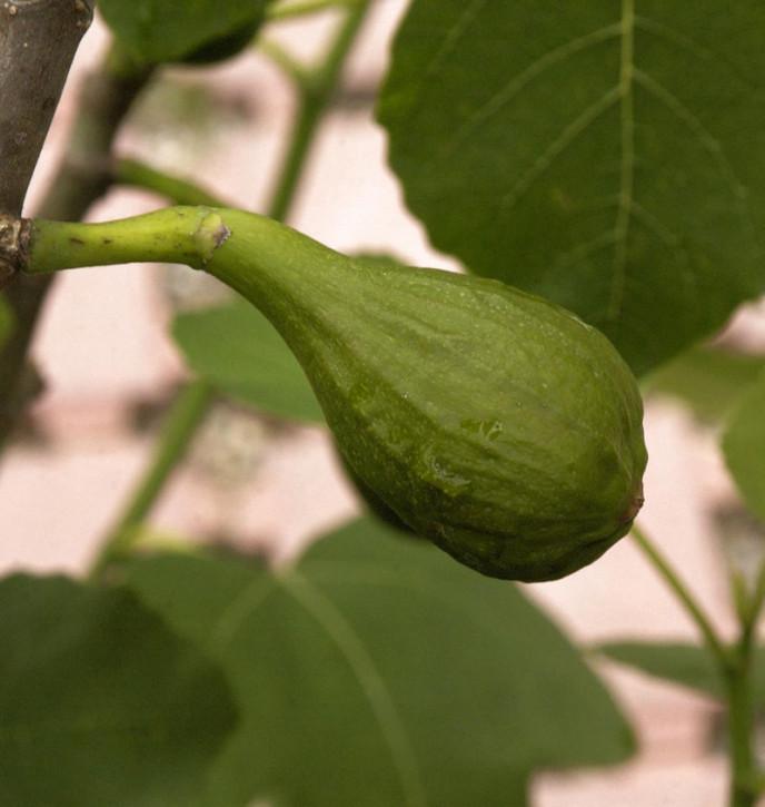 Feigenbaum Little Miss Figgy 40-60cm - Ficus carica