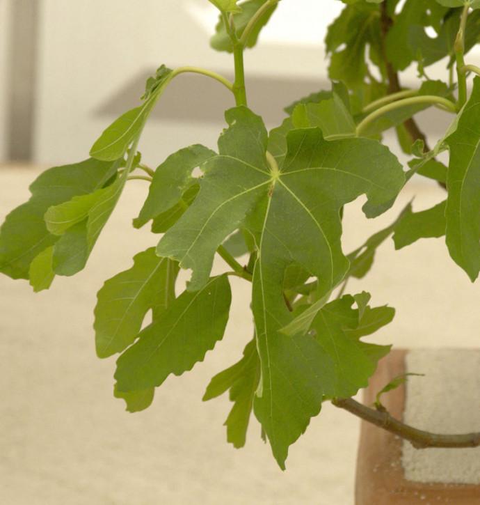 Feigenbaum Rouge de Bordeaux 40-60cm - Ficus carica