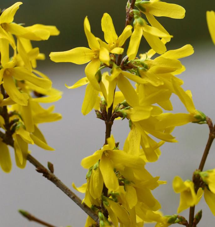 Hochstamm Goldglöckchen Spectabilis® 60-80cm - Forsythia intermedia Spectabilis®