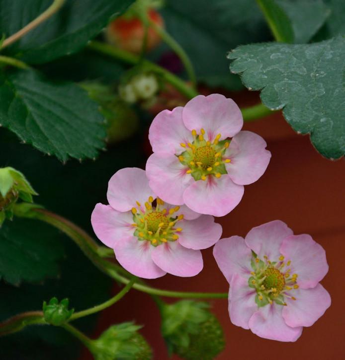 Garten Erdbeere Rosana F1 - Fragaria ananassa
