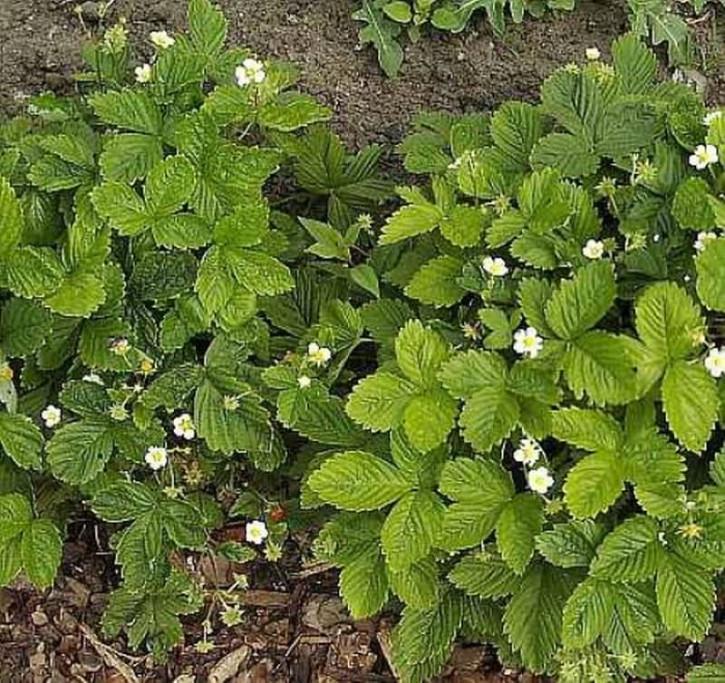 Garten Erdbeere Elsantha - Fragaria ananassa