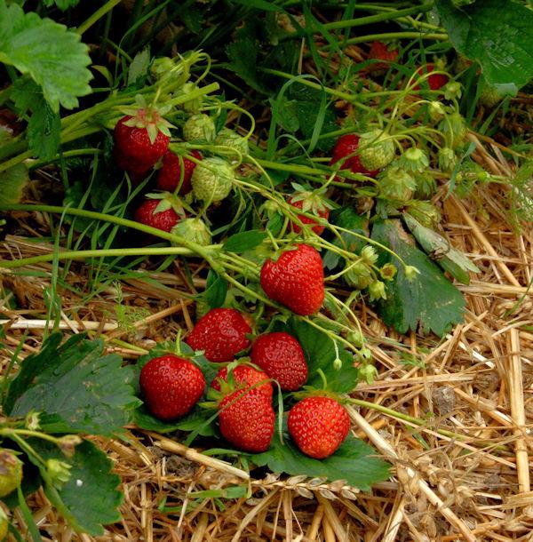 Garten Erdbeere Korona - Fragaria ananassa